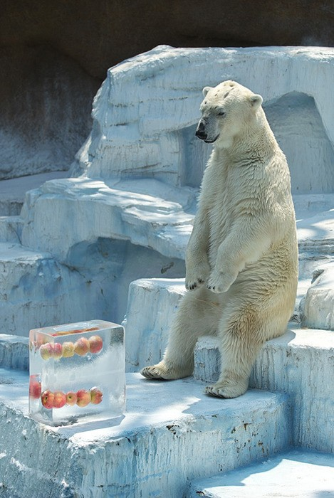 Polar bear is just waiting for lunch break