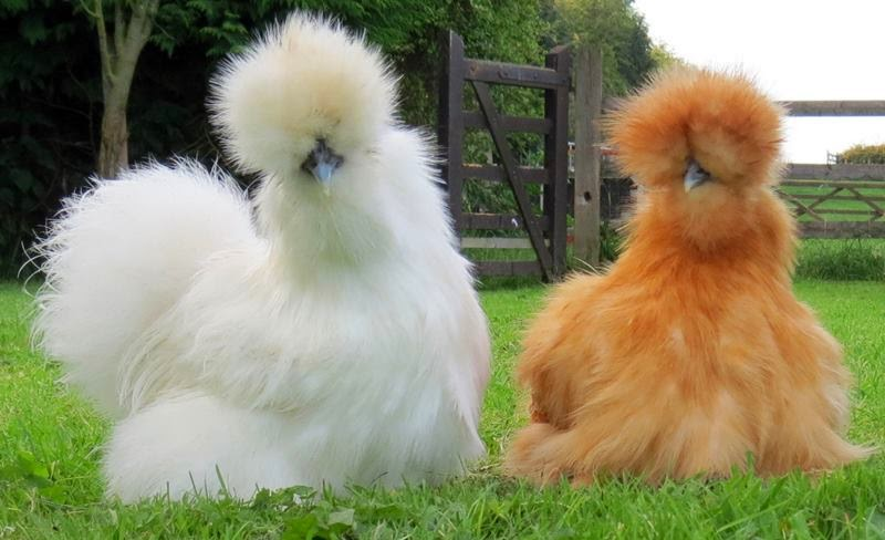 The fluffiest of fluffy fluff. Silkie Chickens